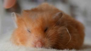 hamster sleepy